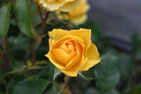 Die Bedeutung hinter der gelben Rose
